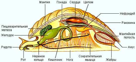 Мышцы моллюсков