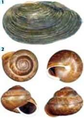 Живлення молюсків