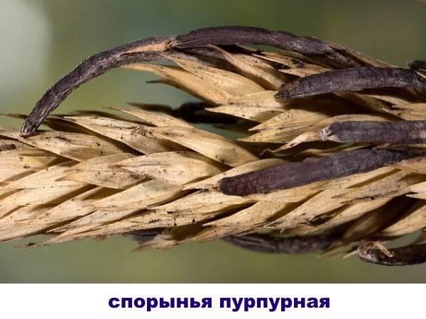 Галюцегенный гриб где растут