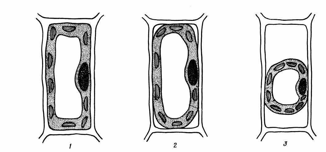 Вакуоли с клеточным соком имеются в клетках