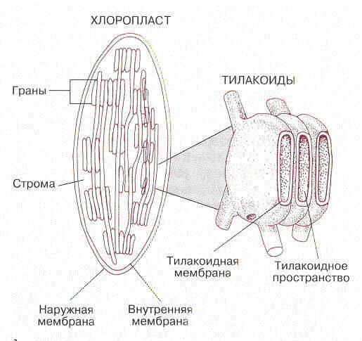 Название клеток
