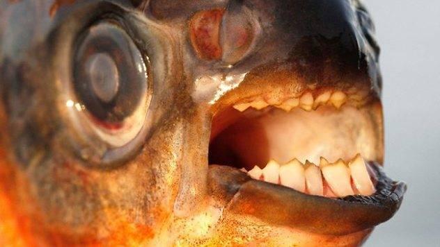 Рыбы амазонки список