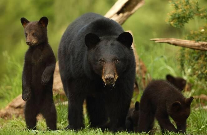 Черный медведь фото