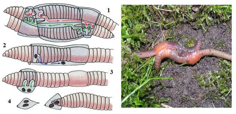 Цикл развития кольчатых червей