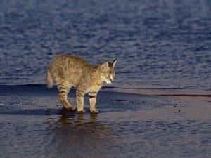 Хаус камышовый кот