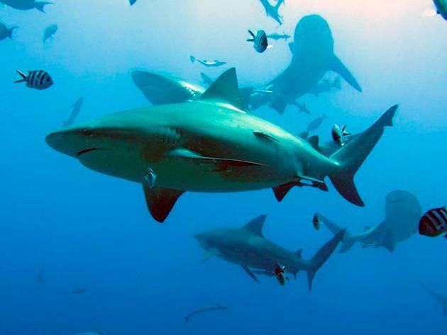 Акула замбези