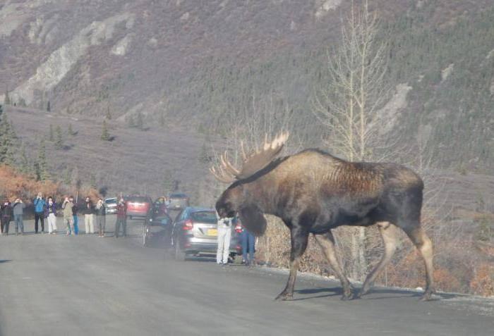Чем питается лось в природе