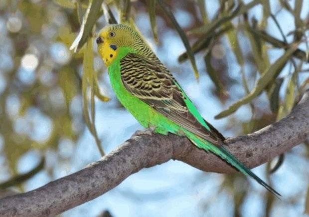 Срок жизни волнистых попугаев в домашних условиях