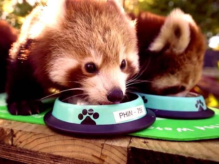 Едят ли панды мясо