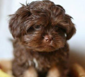 Маленькие собаки которые не растут