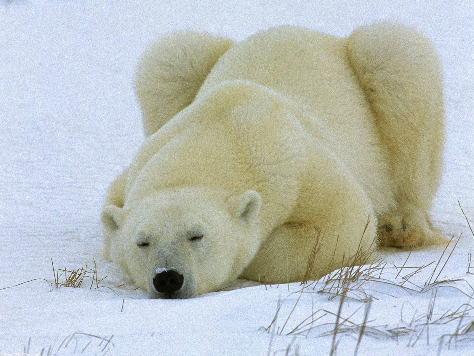 Где живут полярные медведи