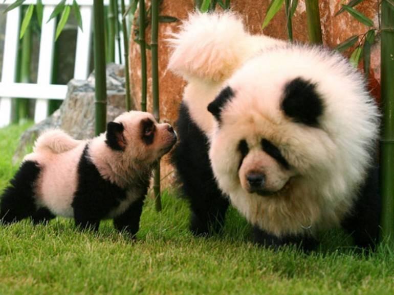 Лапа панды