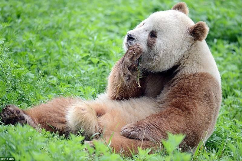 Коричневые панды