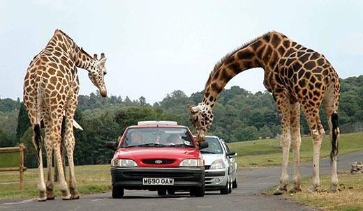 Внешнее строение жирафа