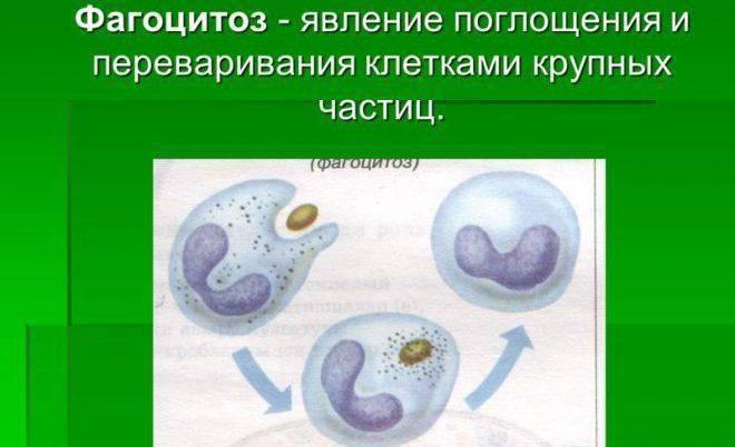 Фагоцитоз анализ