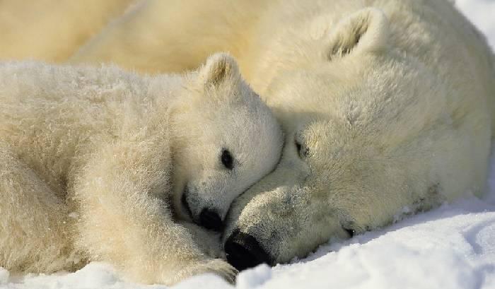 Характеристика белого медведя