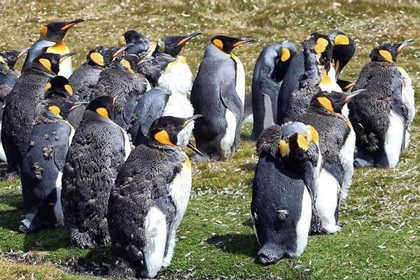 У пингвина шерсть или перья
