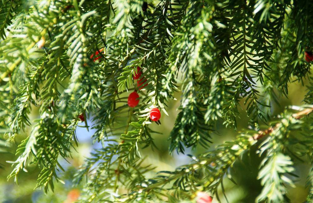 Вечнозелёные деревья список