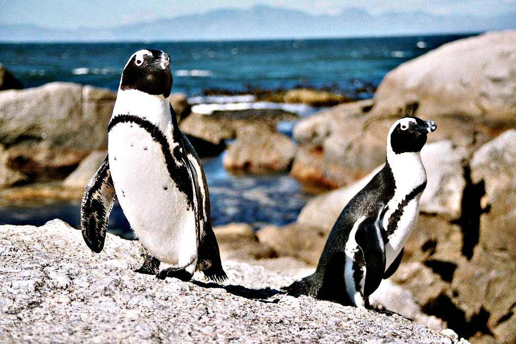 Сколько весит королевский пингвин