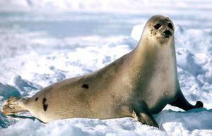 Какие животные характерны для арктических пустынь