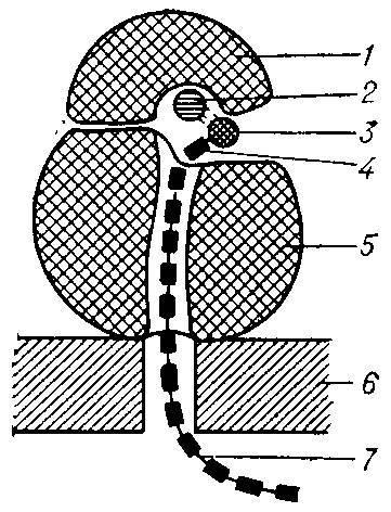 Где образуются субъединицы рибосом