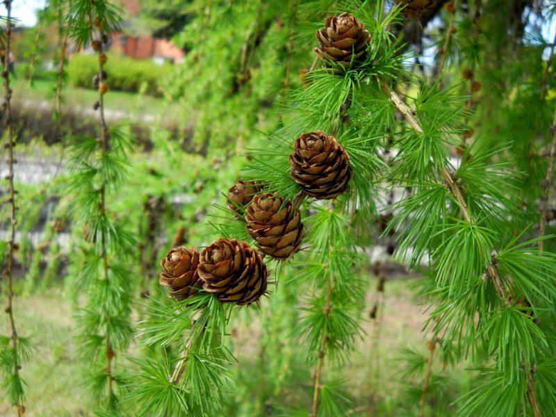 Какое самое распространенное дерево в россии