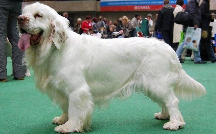 Породы собак белого окраса