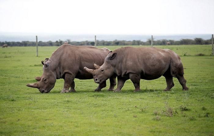 Сколько осталось белых носорогов в мире