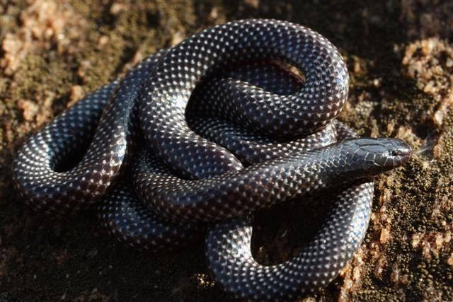 Египетская кобра фото