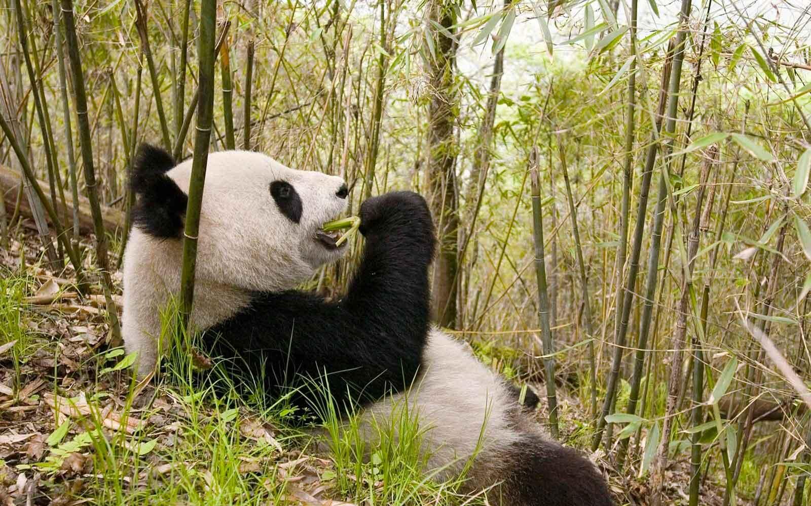 Сколько весит панда взрослая