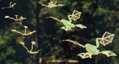 Летающая лягушка фото