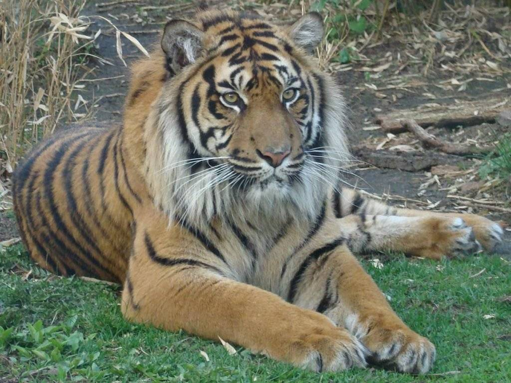 Тигры суматры