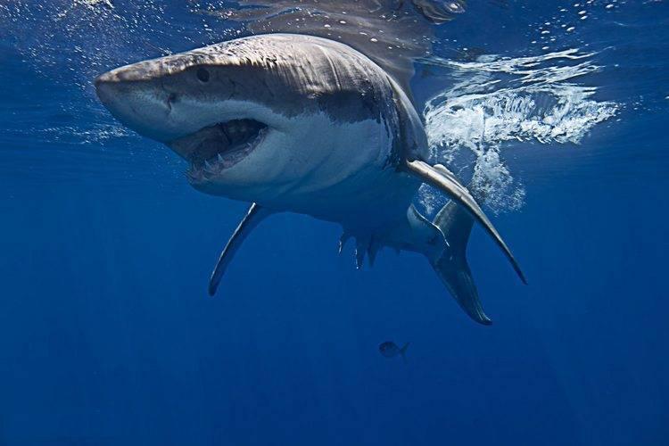 Размер белой акулы