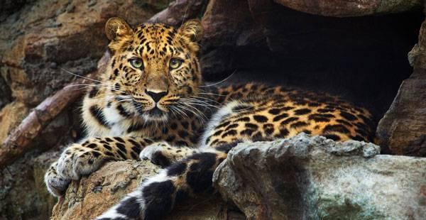 Леопард описание животного
