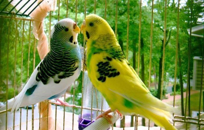 Сколько живут волнистые попугайчики в клетке