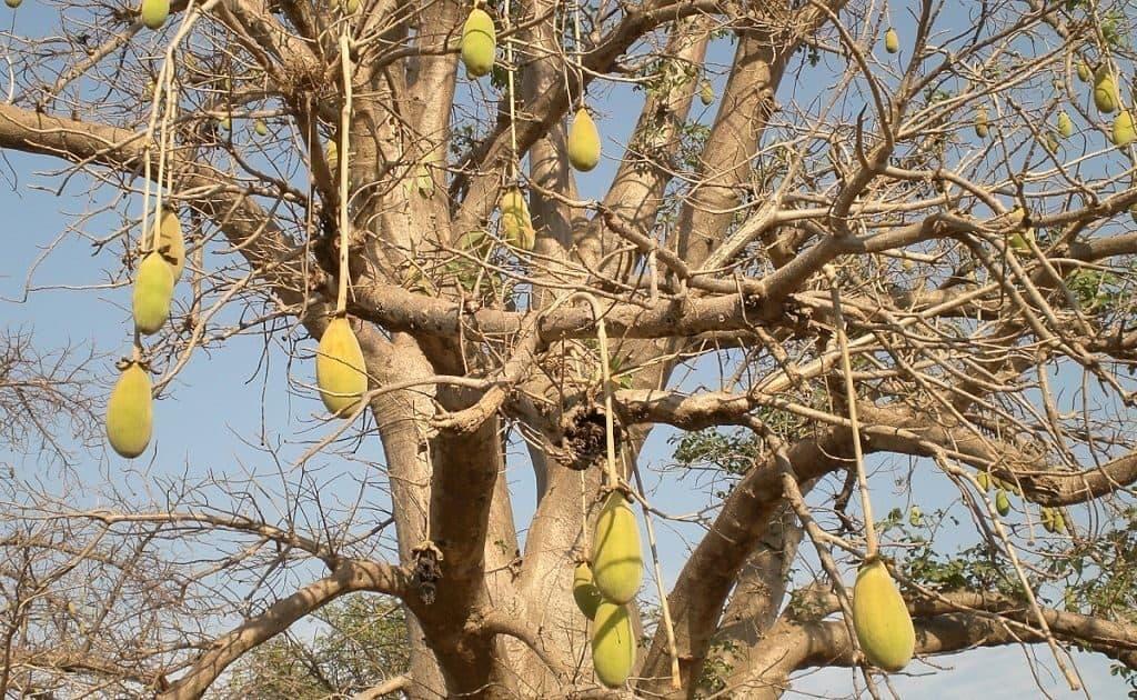 Баобаб растение обитающее