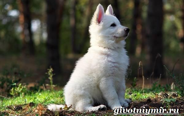 Белая овчарка порода