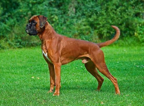 Самые популярные породы собак в россии