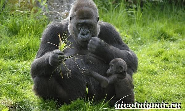 Африканская горилла