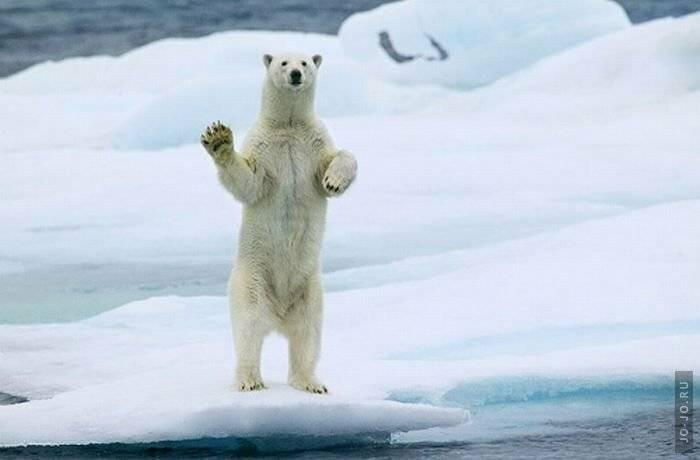 Мимика белого медведя