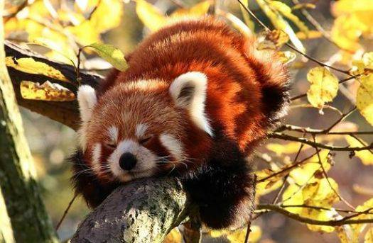 Панда вымирающий вид