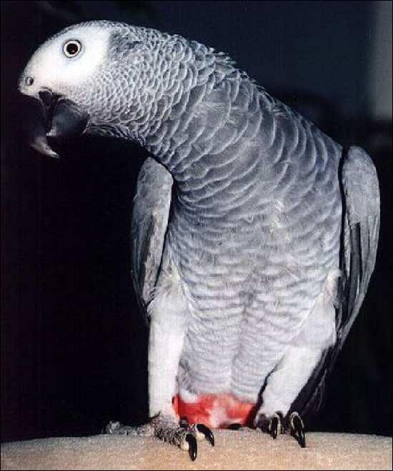 Попугай домашнее животное