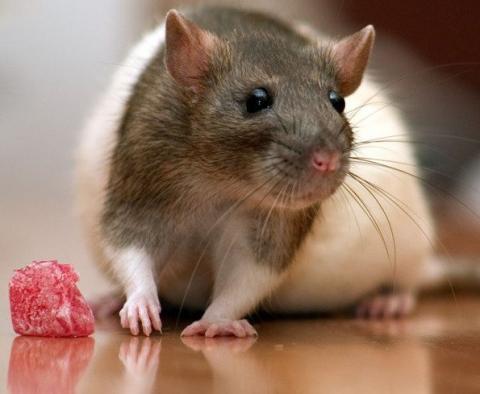 Как содержать крысу