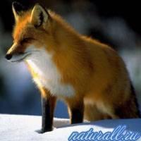 В какой природной зоне обитает лиса