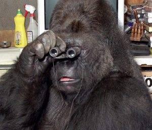 Сила гориллы в сравнении с человеком