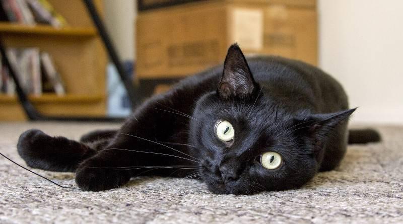 Кошка похожая на пуму