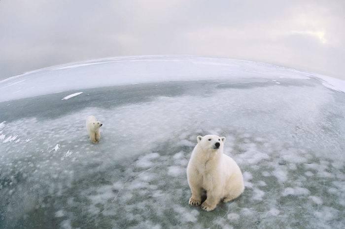 Вес белого медведя взрослого