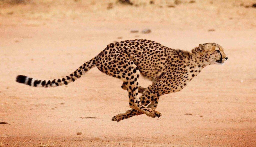 Гепард краткое описание животного
