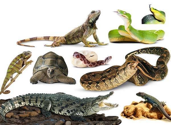 Класс рептилии