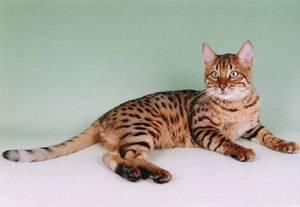 Кошка как леопард порода